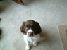 Emma Coca Mocha Channel, Female, 9 weeks Old, English Springer Spaniel