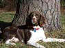 Murphy, Male, 1 1/2 Years Old, English Springer Spaniel