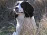 Denbigh, Male, 3 Years Old, English Springer Spaniel