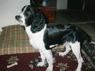 Cozmo, Male, 6 Months Old, English Springer Spaniel