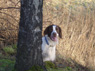 Bailey, Male, 2 1/2 Years Old, English Springer Spaniel