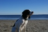 Kingston, Male, 2 Years Old, English Springer Spaniel